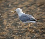 zampe del gabbiano sulla spiaggia con un pezzo di pane in suo becco immagini stock