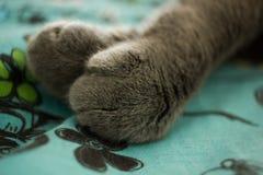 Zampe del gatto Fotografia Stock