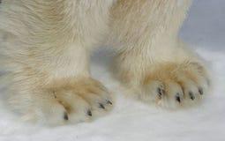 Zampe dell'orso polare Fotografia Stock
