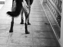 Zampe di cane in bianco e nero Immagine Stock