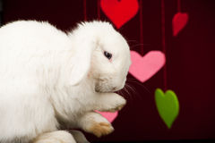 Zampe di lavaggio del coniglietto sveglio bianco Fotografia Stock