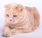 Zampe di menzogne del gatto del popolare dello Scottish attraversate Fotografie Stock Libere da Diritti