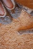 Zampe grige del gatto e piedi umani in pantofole Fotografie Stock