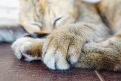 zampe s del gatto Immagini Stock