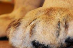 Zampe simili a pelliccia con gli artigli ritirati su questo leone di montagna immagini stock libere da diritti