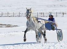 Zampone grigio di Orël dello stallone Fotografia Stock Libera da Diritti