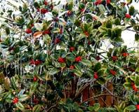 Zamraża zaskorupiać się jagod i holly przeciw drewna ogrodzeniu obraz royalty free