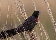zamyka długiego ogoniastego widowbird Zdjęcia Stock