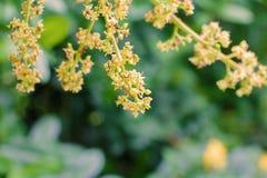 Zamyka do mangowego kwiatu okwitnięcia i czerwieni mrówki na drzewie w rolnictwo ogródu plamy tle zdjęcia royalty free