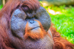 Zamyka do twarzy dominująca samiec, Bornean orangutan (Pongo pygm Obraz Stock