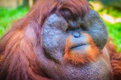 Zamyka do twarzy dominująca samiec, Bornean orangutan (Pongo pygm Zdjęcie Stock