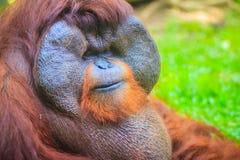 Zamyka do twarzy dominująca samiec, Bornean orangutan (Pongo pygm Fotografia Stock