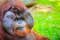 Zamyka do twarzy dominująca samiec, Bornean orangutan (Pongo pygm Zdjęcie Royalty Free