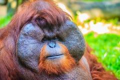 Zamyka do twarzy dominująca samiec, Bornean orangutan (Pongo pygm Fotografia Royalty Free