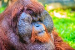 Zamyka do twarzy dominująca samiec, Bornean orangutan (Pongo pygm Obraz Royalty Free