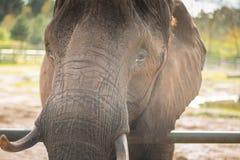 Zamyka głową słoń Fotografia Royalty Free