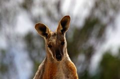 zamyka kolor żółty skałę w górę wallaby kolor żółty Zdjęcia Royalty Free