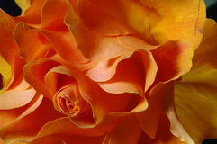 Zamyka kolor żółty wzrastać wzrastał Fotografia Stock
