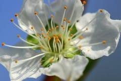 zamyka kwiat śliwki śliwka Fotografia Royalty Free