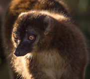 Zamyka lemur lemur Zdjęcia Stock