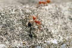 Zamyka mrówka czerwona mrówka zdjęcie royalty free