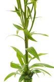 Zamyka odizolowywać odizolowywający zieleni liść Zdjęcie Stock
