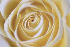 zamyka różanej herbaty różany Zdjęcie Royalty Free