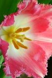 zamyka różowych tulipany różowy Zdjęcie Royalty Free