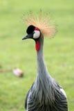 Zamyka Siwieję up koronował żurawia przy głowa strzałem, Balearica pavonina zdjęcia royalty free