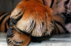 Zamyka strzał tygrysich łap łgarski puszek obraz royalty free