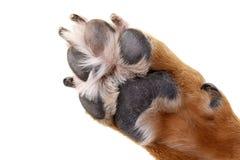 Zamyka strzał urocza Staffordshire Terrier ` s łapa zdjęcie royalty free