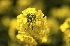 Zamyka Up Żółta Kwiatonośna Rapeseed roślina Obrazy Royalty Free