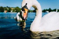 Zamyka up śliczny biały graci łabędź z otwartym belfrem na Alster jeziorze na słonecznym dniu w Hamburg Fotografia Royalty Free