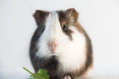 Zamyka up śliczny królik doświadczalny Obrazy Stock