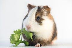 Zamyka up śliczny królik doświadczalny Zdjęcie Royalty Free