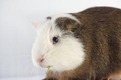 Zamyka up śliczny królik doświadczalny Zdjęcie Stock