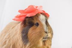 Zamyka up śliczny królik doświadczalny Zdjęcia Royalty Free