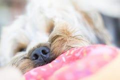 Zamyka up śliczny Yorkshire Terrier szczeniak bawić się z zabawką fotografia stock