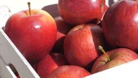 Zamyka up świeżo ukradzeni czerwoni Fiji jabłka, oceniać i pakujący zbiory wideo