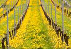 Zamyka up żółty turecki tulipan starym winogradem w winnicy Zdjęcia Stock