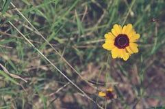 Zamyka up żółty złoty tickseed w trawie obrazy royalty free