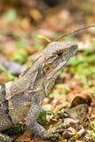 Zamyka up żeńska Amerykańska iguana - iguany iguana Obrazy Royalty Free