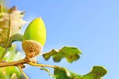 Zamyka up acorn w drewnie Fotografia Stock