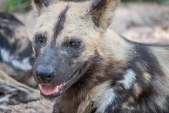 Zamyka up Afrykański dziki pies Zdjęcia Stock