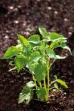 Zamyka up Ageratum houstonianum roślina Zdjęcia Stock