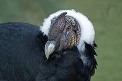 Zamyka up Andyjski kondor na ziemi Fotografia Stock