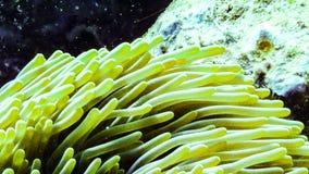 Zamyka up anemon w Maldives obrazy royalty free