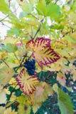 Zamyka up błękitny winograd winogrona i kolorowi jesień liście zdjęcie royalty free