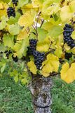 Zamyka up błękitny winograd winogrona i kolorowi jesień liście zdjęcie stock