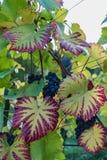 Zamyka up błękitny winograd winogrona i kolorowi jesień liście fotografia royalty free